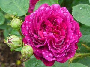 Rose in Walled garden at Castle Howard