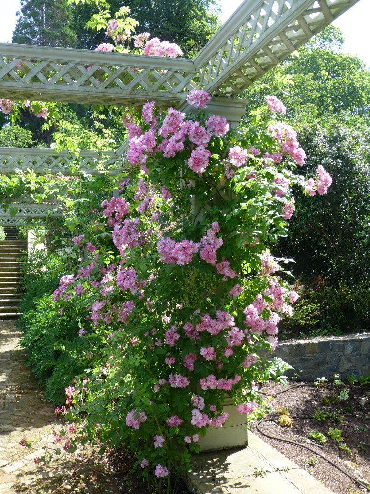 Bodnant Garden roses