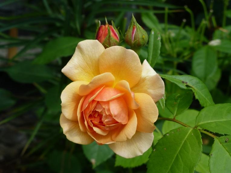 Bodnant Garden rose